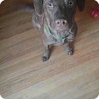 Adopt A Pet :: Cognac - Brooklyn Center, MN