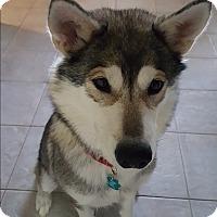 Adopt A Pet :: Sonja - Sugar Land, TX