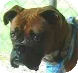 Boxer Dog for adoption in Sunderland, Massachusetts - Ava