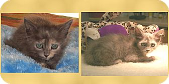 Domestic Mediumhair Kitten for adoption in Scottsdale, Arizona - Paisley