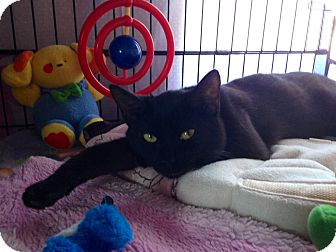 Bombay Cat for adoption in Mount Laurel, New Jersey - Jingles