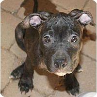 Adopt A Pet :: Porshe - Mesa, AZ