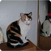 Adopt A Pet :: Attie - Springdale, AR