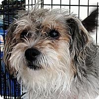 Adopt A Pet :: Tanya - Tumwater, WA