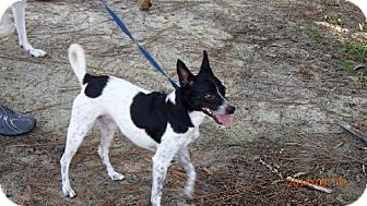Chihuahua/Terrier (Unknown Type, Medium) Mix Dog for adoption in Oviedo, Florida - CHIPPEN
