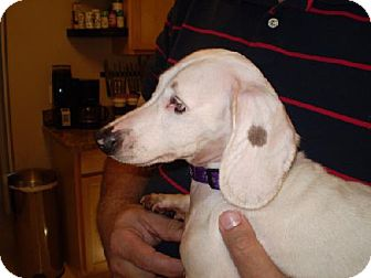 Dachshund Dog for adoption in Jacksonville, Florida - Spot