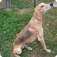Shepherd (Unknown Type)/Whippet Mix Dog for adoption in West Plains, Missouri - Tom