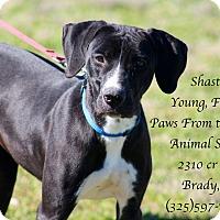Adopt A Pet :: Shasta - Buchanan Dam, TX