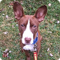 Adopt A Pet :: Twiggy - Indianapolis, IN