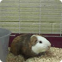 Adopt A Pet :: *Urgent* Dodger - Fullerton, CA