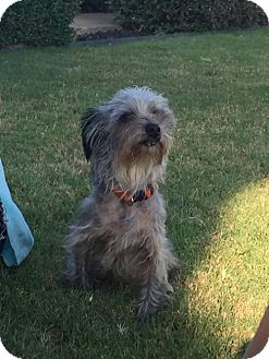 Yorkie, Yorkshire Terrier Mix Dog for adoption in Dallas, Texas - Poppy