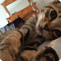 Adopt A Pet :: Skittles (brown tabby kitten) - New Smyrna Beach, FL