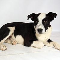 Adopt A Pet :: Keefer HeelerShep - St. Louis, MO