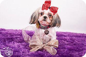 Shih Tzu Puppy for adoption in Colorado Springs, Colorado - Ziva