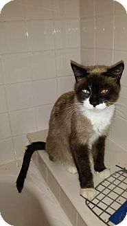 Siamese Cat for adoption in Denver, Colorado - CAT-Marcie