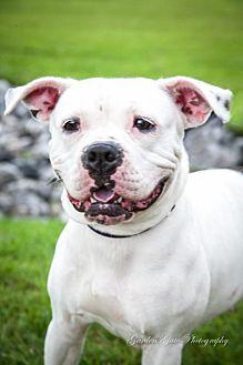 American Bulldog Mix Dog for adoption in Elizabethtown, Pennsylvania - Emma
