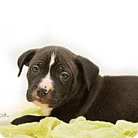 Adopt A Pet :: Tyrone - Manchester, NH