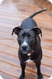 Pit Bull Terrier Mix Dog for adoption in Dayton, Ohio - Estella