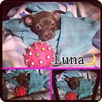Adopt A Pet :: Luna - Los Angeles, CA