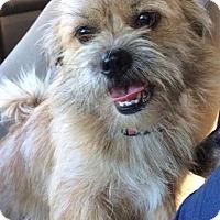 Adopt A Pet :: Pippi meet me 1/20 - Manchester, CT
