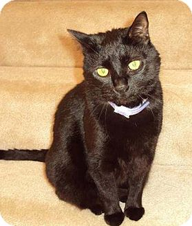 Domestic Shorthair Cat for adoption in N. Billerica, Massachusetts - Miss Jackson
