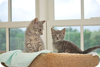 Domestic Shorthair Kitten for adoption in Trevose, Pennsylvania - Graysie and Grayson