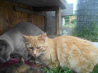 Domestic Mediumhair Cat for adoption in Zaleski, Ohio - Junior