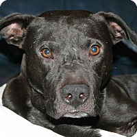 Pit Bull Terrier Mix Dog for adoption in Dallas, Texas - Midnight - Guest