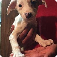 Adopt A Pet :: Dove - Dumfries, VA