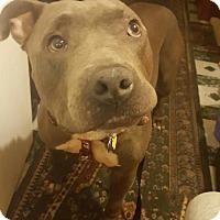 Adopt A Pet :: Shea - Brooklyn, NY
