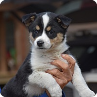 Adopt A Pet :: Paisley - Charlemont, MA