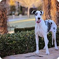 Great Dane Dog for adoption in Abilene, Texas - Isabel