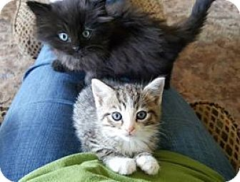 Domestic Shorthair Kitten for adoption in Monterey, Virginia - Haden