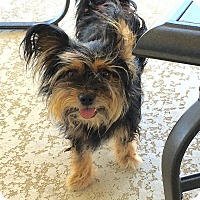 Adopt A Pet :: yorkie - Buchanan Dam, TX