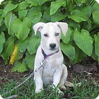 Adopt A Pet :: BRANDO - Hartford, CT