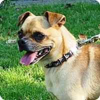 Pug/Chihuahua Mix Dog for adoption in Great Falls, Virginia - Rudy