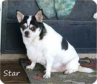 Chihuahua Dog for adoption in Tucson, Arizona - Star