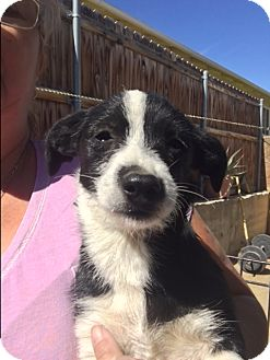 Terrier (Unknown Type, Medium) Mix Puppy for adoption in Thousand Oaks, California - Laverne