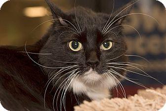 Domestic Mediumhair Cat for adoption in San Juan Capistrano, California - Shadow