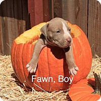 Adopt A Pet :: Fawn - Sonoma, CA
