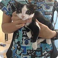 Domestic Shorthair Kitten for adoption in San Bernardino, California - URGENT NOW (San Bernardino)