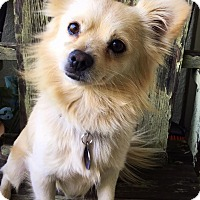 Adopt A Pet :: Louie - Van Nuys, CA
