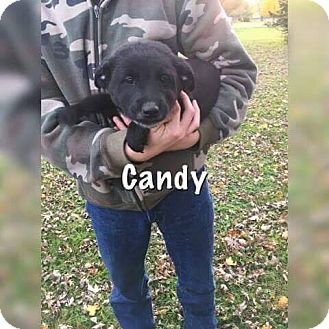Labrador Retriever Mix Puppy for adoption in Brattleboro, Vermont - Puppy Candy
