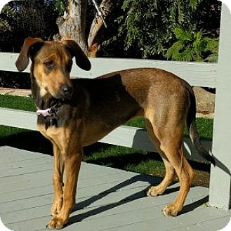 Coonhound Mix Dog for adoption in Encinitas, California - Willow (Courtesy Listing)