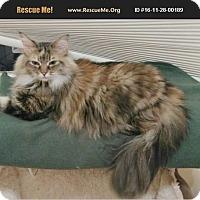 Adopt A Pet :: Miss Kitty - Madison, TN