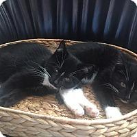 Adopt A Pet :: Sylvester & Sylvia - Island Park, NY