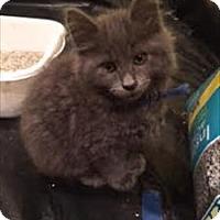 Domestic Mediumhair Kitten for adoption in Sherwood, Oregon - Expression K1 Aka Smokey