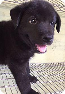 Labrador Retriever Mix Dog for adoption in Kailua-Kona, Hawaii - Mauka