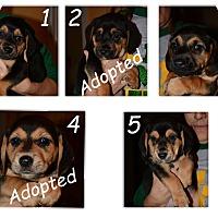 Adopt A Pet :: German Shepherd Puppies - Hopkinsville, KY