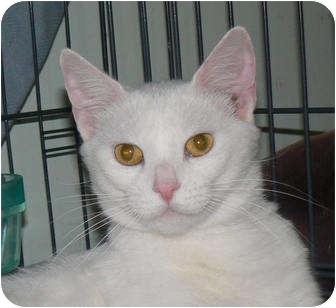 Polydactyl/Hemingway Cat for adoption in Stafford, Virginia - Precious